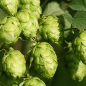 hop essential oil