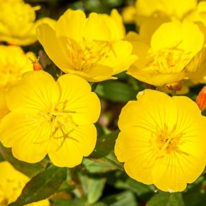 evening-primrose-base-oil