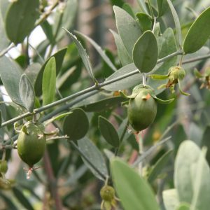 jojoba-base-oil